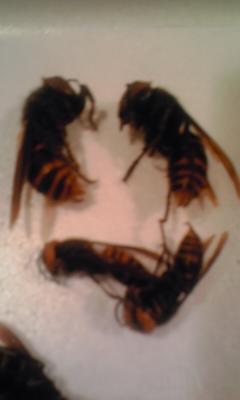 スズメバチの逆襲!