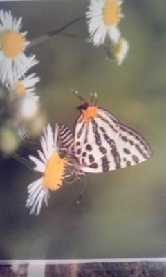 アリと共生する蝶・パ―トⅠ           キマダラルリツバメ
